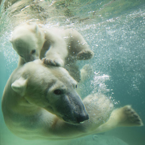 allcreatures:   Polar bear Anori - half sister to Knut - plays underwater with her mother Vilma at Wuppertal Zoo, Germany  Picture: Action Press / Rex Features (via Pictures of the day: 7 June 2012 - Telegraph)