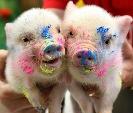 paulathegirlfrommars:  Cute little Piggies.