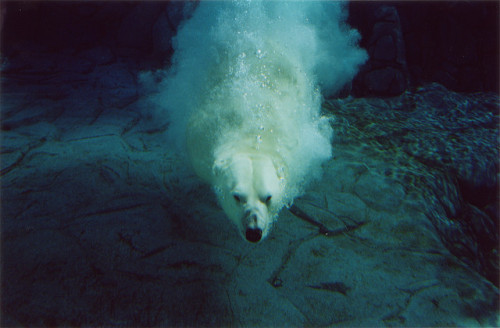 Polar Bear in the Deep Blue by Ming-Keith Lee on Flickr.