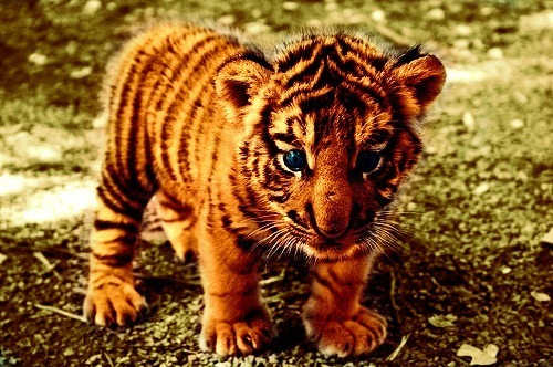 earthlynation:  baby tiger by source