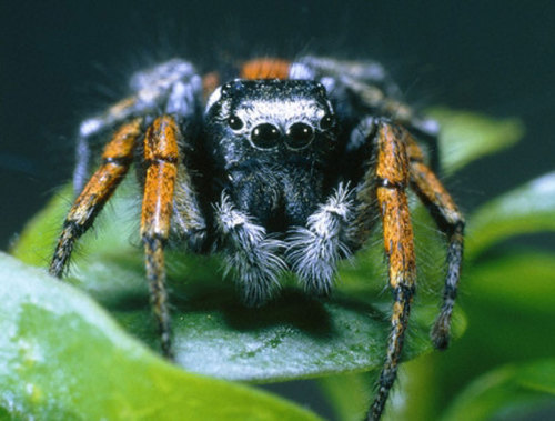 How Vampire Spiders Choose a Blood Meal They are picky eaters and love a meal of freshly blood-filled mosquitoes. keep reading