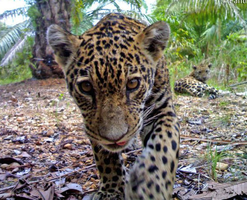 discoverynews:  Rare Photos Show Jaguars At Palm Oil PlantWild jaguars and their cubs are making their way into oil palm production areas in Colombia. Images of the jaguars were snapped by camera traps set to gather information about the impact of Colombia's growing oil palm plantations on jaguars. Palm oil is extracted from the fruit of the palm oil tree. The oil is a common cooking ingredient in Africa, Asia and parts of South America. Its increasing use in the commercial food industry in other parts of the world is mostly due to its low cost and its trans fat free qualities. But in parts of Indonesia, the removal of trees to make room for oil-palm has resulted in the loss of the natural habitat of the orangutan. keep reading