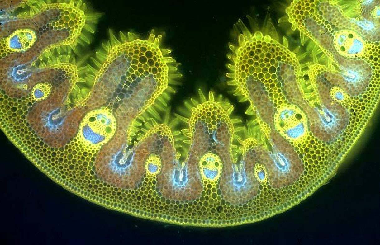 prostheticknowledge:  Cross-Section Tissue of Marram Grass Leaf … reveals cellular happy smiling faces … via ‏@MrPrudence