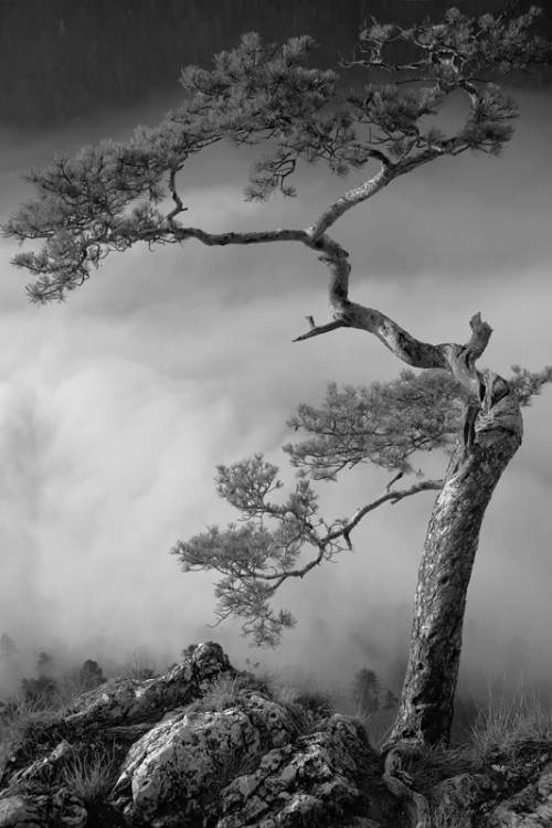 live-2-learn:  gnarled trunk in a foggy valley