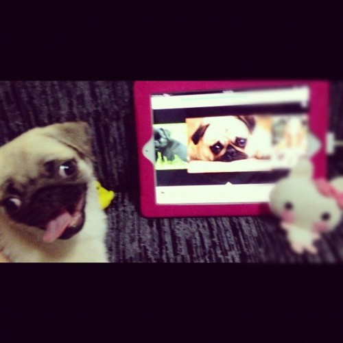 Fur baby *loves* seeing pug pics too! (via ilovesandyforever)