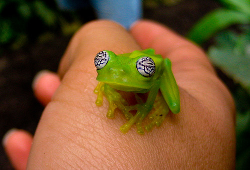 theanimalblog:  Glass Frog