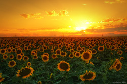 Fields of gold ~ Sunflowers Colorado sunset