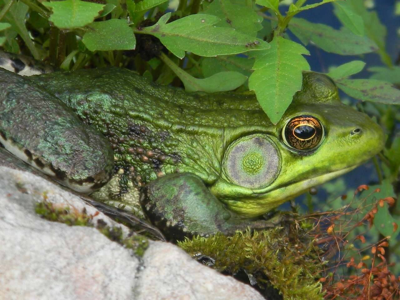 June 14, 2012 If the tympanic membrane of the Green Frog (Rana clamitans)—its external hearing structure—is much larger than the eye, then you know it's a male.  Rana clamitans: that's fun to say out loud!  —photo by Jerod Skebo
