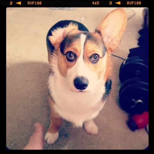 🐶 baroo? #corgi #floppular#derp#funny#puppy (Taken with Instagram)