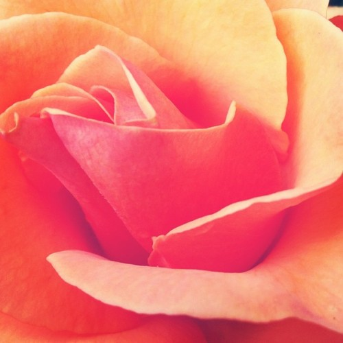 #rose #oregon #orange #fragrant #perfume #summer #flowers #statigram #portlandia #sun #perfect #igscout #instaaddict #macro #petals #peace (Taken with Instagram at International Rose Test Garden)