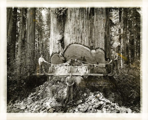 Felling Giant Redwoods