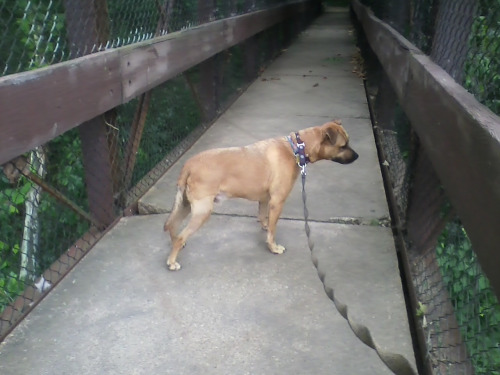 My dog has become aware that when he is standing on a bridge, he is suspended in air above the ground, and his apparent fear of height kicks in. And then I have to carry a 60 lb. pit bull across the bridge so we can go to Texas Beach. Too smart for his own good.