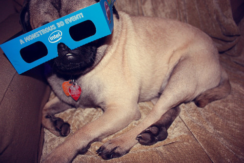 "Puggie got his 3D glasses ready so he can see ""Prometheus"" tonight! (via petitecolibri)"