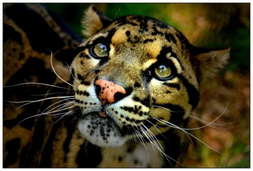 worldlyanimals:  Clouded Leopard (asymons)