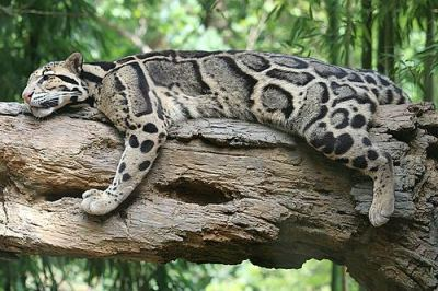 worldlyanimals:  Clouded Leopard resting in a tree (Raven-Al)