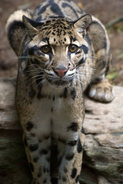 worldlyanimals:  Clouded Leopard (renynzea)