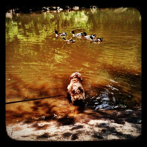 Ginger vs. the ducks (Taken with Instagram at Falls Park,  Greenville, SC)