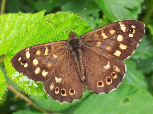 Speckled Wood (Pararge aegeria) on bramble in Surrey, 7th June 2012. Taken on Samsung Galaxy SII.