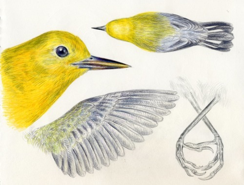 noelbadgespugh:  Prothonotary Warbler Studies from stuffed specimens at Cal Academy of Sciences