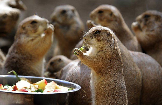 1000cutethings:  478. Prairie Dog Eating! Prairie Dogs are so cute they make my stomach suddenly feel all gooey.  This picture of a prairie dog eating veggies at the prairie dog enclosure at the Amneville Zoo in France, is adorable!  Wait: there are prairie dog enclosures at zoos?  Take me to there.