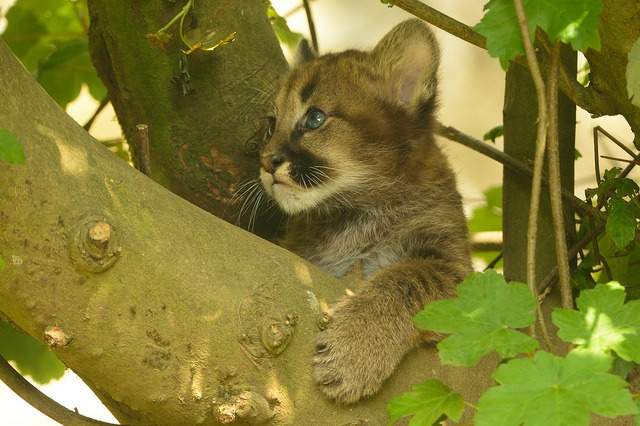 Mountain Lion Cub in Tree by Ami 211 on Flickr.