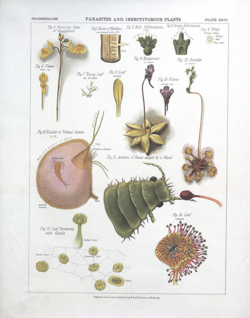 Parasites and insectivorous plants by BioDivLibrary on Flickr. The botanical atlas :. New York :The Century Co.,1883..biodiversitylibrary.org/page/39683040