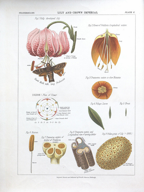 dendroica:  Lily and Crown Imperial by BioDivLibrary on Flickr. The botanical atlas :. New York :The Century Co.,1883..biodiversitylibrary.org/page/39683066