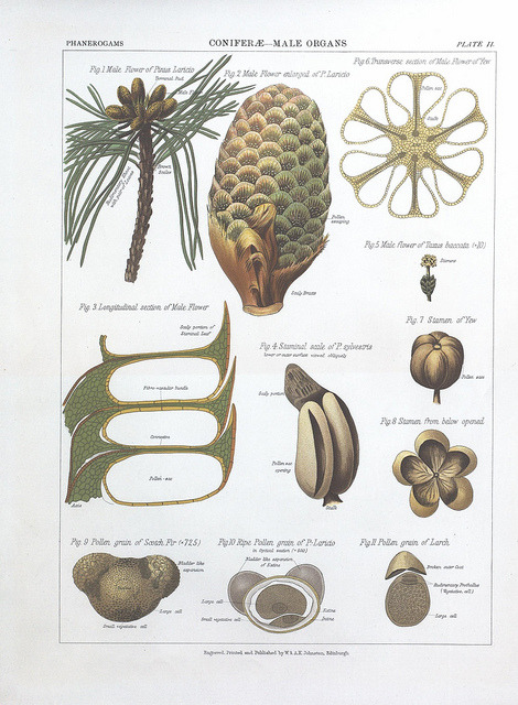 Male organs of conifers by BioDivLibrary on Flickr. The botanical atlas :. New York :The Century Co.,1883..biodiversitylibrary.org/page/39683074