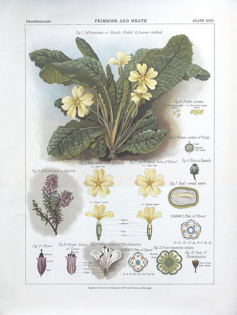 Primrose and heath by BioDivLibrary on Flickr. The botanical atlas :. New York :The Century Co.,1883..biodiversitylibrary.org/page/39683031