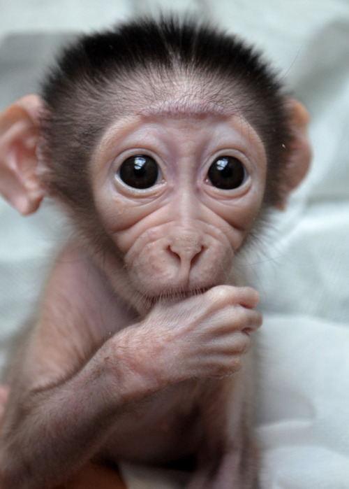 "thefluffingtonpost:  Thumb Sucking Monkey May Need Braces A baby white-collared mangabey born at the Paris Museum of Natural History has been advised by orthodontists that if he continues to suck his thumb, he'll grow up needing a retainer — or worse, braces. ""Then, all the other monkeys will call him brace face,"" says Dr. Jack Fogarty, DDS. ""That's preventable. We just have to correct this behavior early on."" Via ZooBorns."
