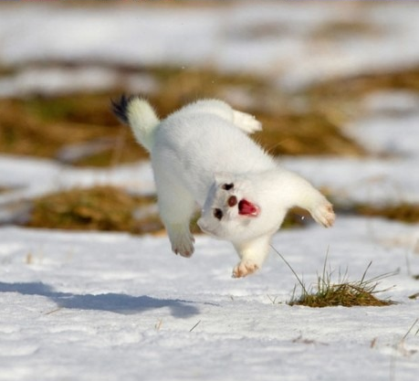 0r0ch1:  Action Ferret!  Edit: What's an Ermine? @o@