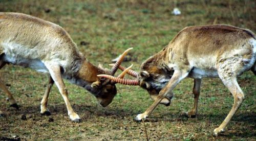 In May 2010 at least 12,000 critically endangered saiga antelopes (Saiga tatarica) were found dead in Kazakhstan. Exactly one year later a second mass die-off occurred, killing 450 of the rare animals. Now, once again almost exactly a year later, yet another round of deaths has struck Kazakhstan's saiga population. Nearly 1,000 dead antelopes have been found over the past two weeks.  What's going on? Russian ecologists are blaming…a spaceship.