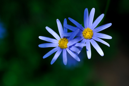 Blue flower (by myu-myu)