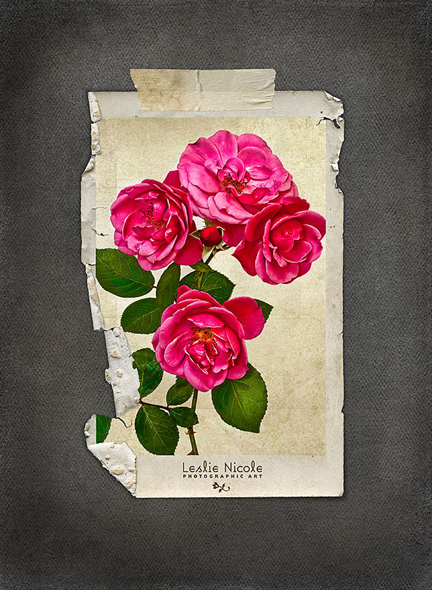 Tattered Rose. Roses from the garden. Textures and Templates: French Kiss Collections.