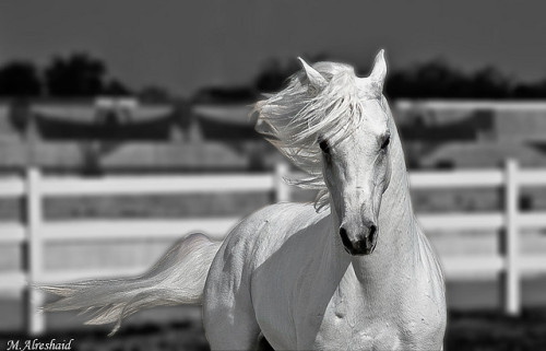 White Horse (B&W) by Mishari Al-Reshaid Photography on Flickr.