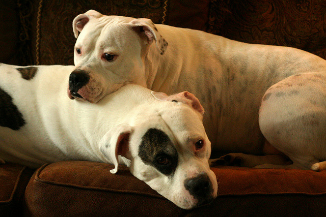 Molly & Strider - American Bulldogs by willtooke on Flickr.