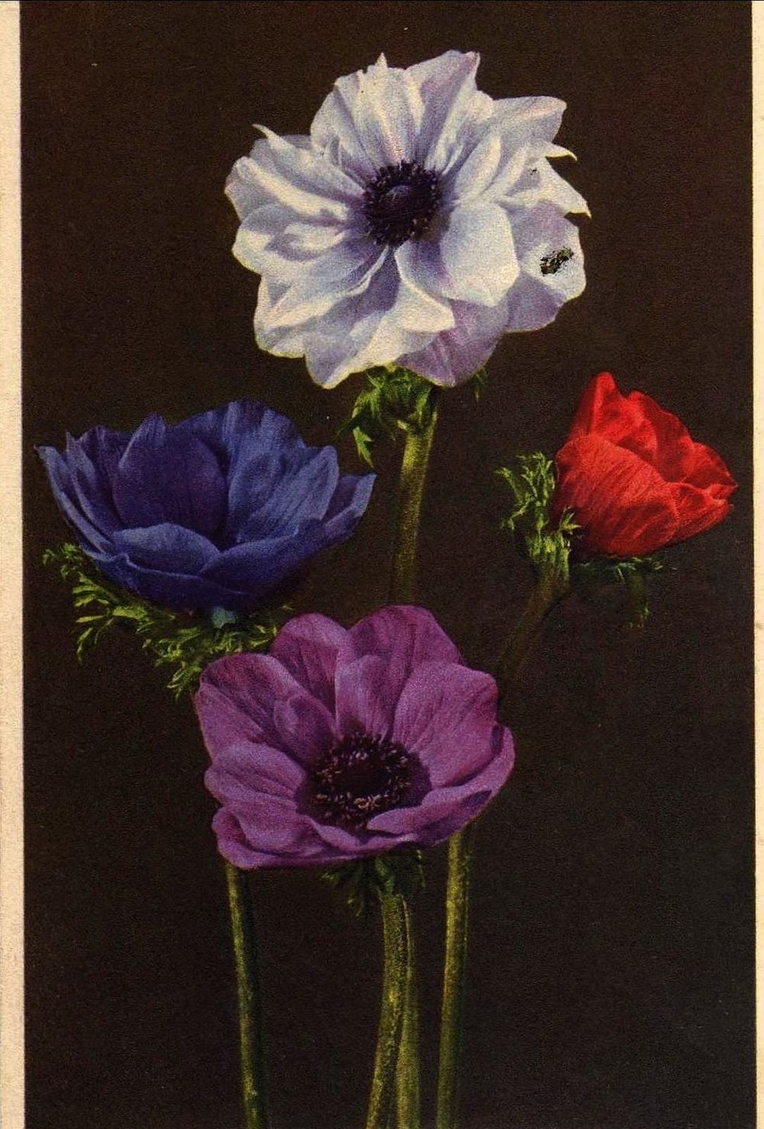 Anemone coronaria (Crown anemone), Ippy Patterson, 100 Flowers and How They Got Their Names