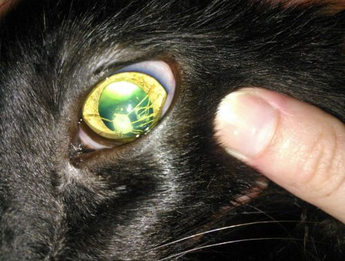 mongrelmutt:  A cat with synechia*. We don't know if it's a congenital issue (it was present in both eyes) or due to an old traumatic injury. Her vision appeared to be unaffected.  *syn·ech·i·a [si-nek-ee-uh, -nee-kee-uh, sin-i-kahy-uh] - noun, pluralsyn·ech·i·ae Med., Pathol. 1. any adhesion of parts of the body, as of the iris to the cornea Origin: 1835–45;