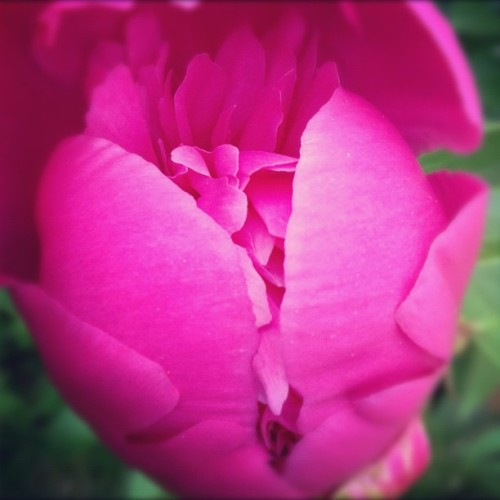 Time for the pink peonies to bloom. #flowers #nature #peony #pink #spring #garden #petals (Taken with Instagram)