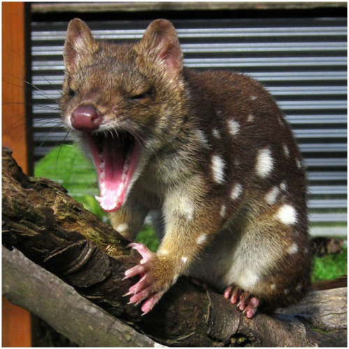 discoverynews:  worldlyanimals:  Yawning Quoll (greenzaku)  whoa. had to look up this one. wikipedia entry: The quoll, or native cat, (genus Dasyurus) is a carnivorous marsupial native to mainland Australia, New Guinea and Tasmania. It is primarily nocturnal and spends most of the day in its den. There are six species of quoll; four are found in Australia and two in New Guinea. Another two species are known from fossil remains in Pliocene and Pleistocene deposits in Queensland.