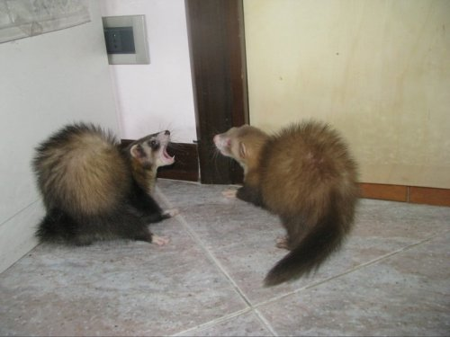 littlemy88:  ferrets playing