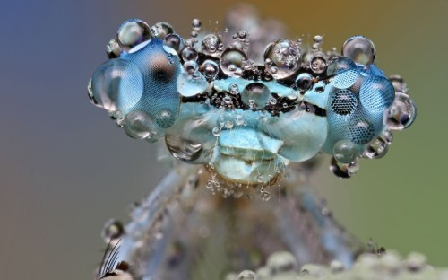 Dew-soaked damselfly.
