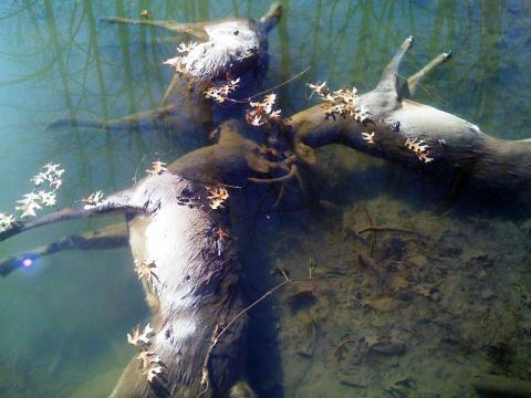 milktree:  three Ohio bucks found drowned with their antlers locked together