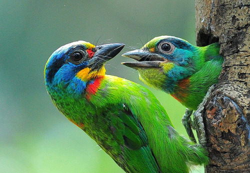 fairy-wren:  taiwan barbet (photo by afi chen)