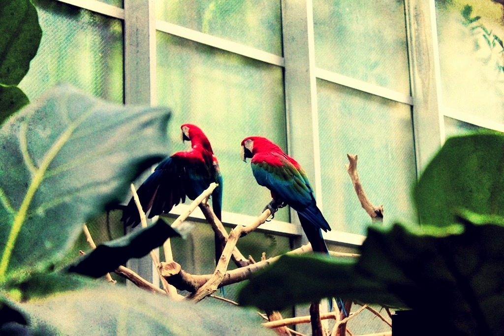 Red Macaws (by 3blondmice)