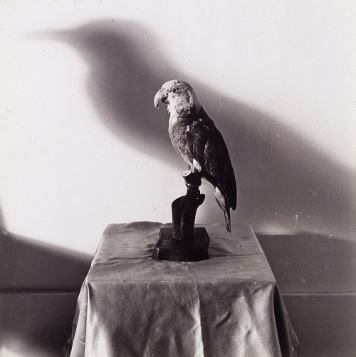 "blindhandoffs:  William Wegman, ""Crow,"" 1970, gelatin silver print"