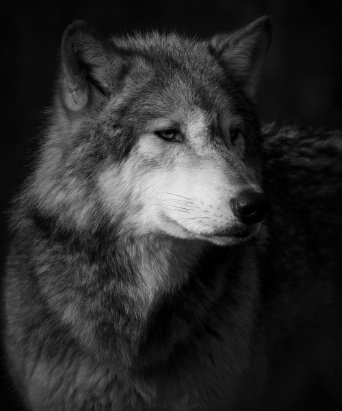 I see you….the Wolf watches.