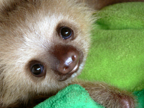 worldlyanimals:  Sloth Baby (Whyamithewerewolf)  Oh… Oh my goodness. You, little sloth are perfect.