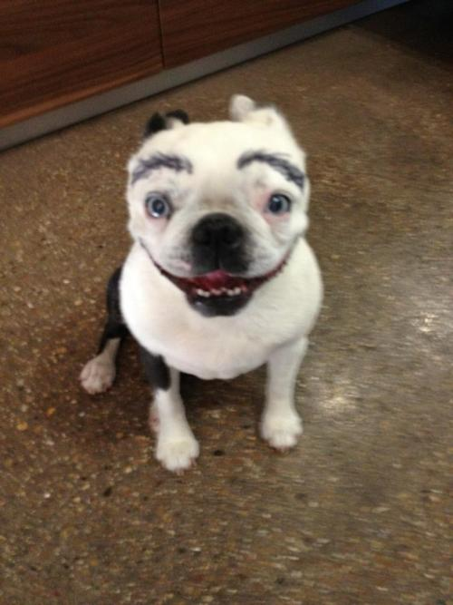Boston terrier sharpie eyebrows - Imgur