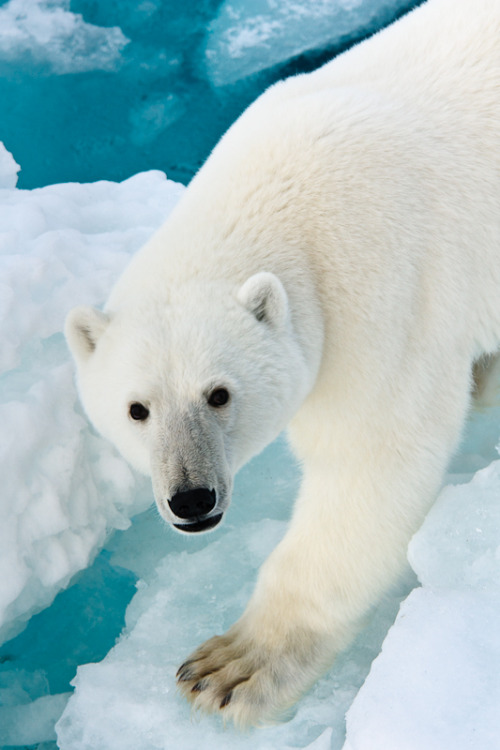 worldlyanimals:  Curious Polar Bear (abey79)